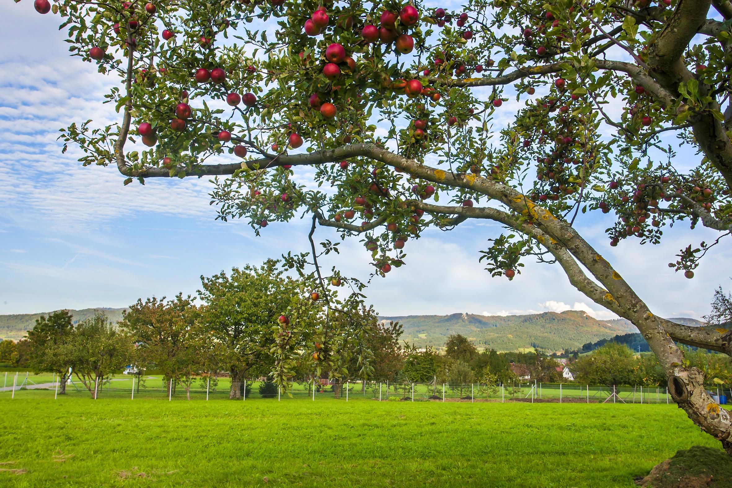 Obstbäume bei Weilstetten