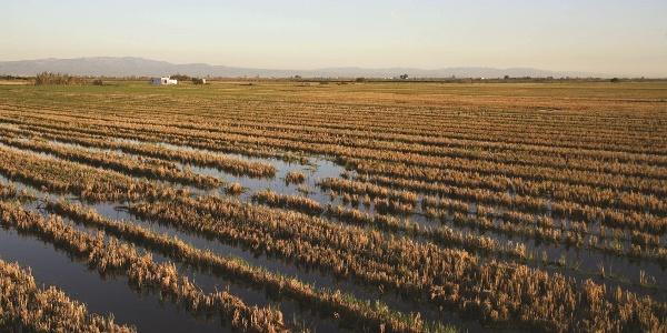 Reisfelder am Ebrodelta