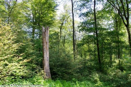 Buchenwälder an der Einsiedelei - Naturerlebnisweg östlich von Olpe