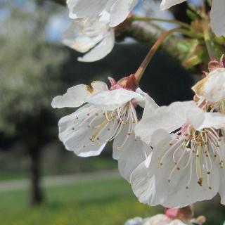 Streuobstbaum in Blüte
