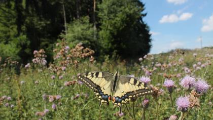 Schmetterling im Naturschutzgebiet Dortebachtal