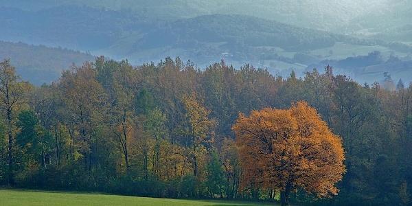 Elsbeere im Herbstkleid
