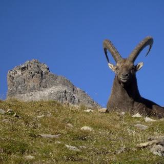 Majestätische Steinböcke in den Allgäuer Alpen