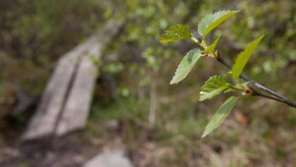 Bohlenpfad im Wald