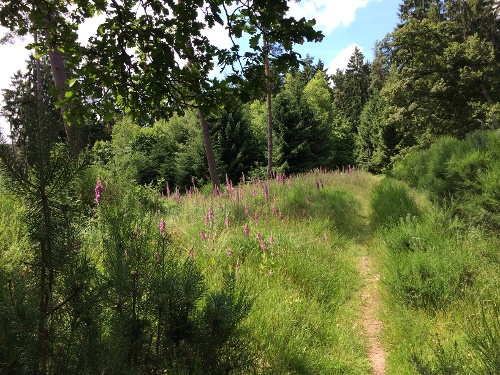 Waldweg mit blühendem Digitalis/Fingerhut