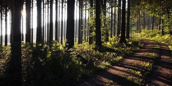Dichter Wald im Hunsrück