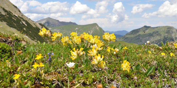 Am Kamm wachsen zahlreiche Alpenblumen, wie hier der Wundklee