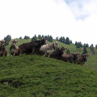 Kühe auf der Bärenalpe