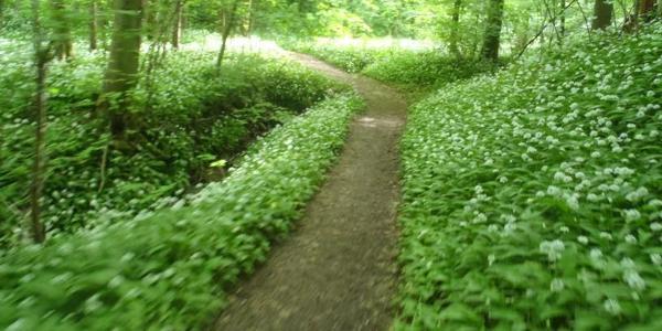 im Mai gehts durch herrlich duftenden und blühenden Bärlauch!