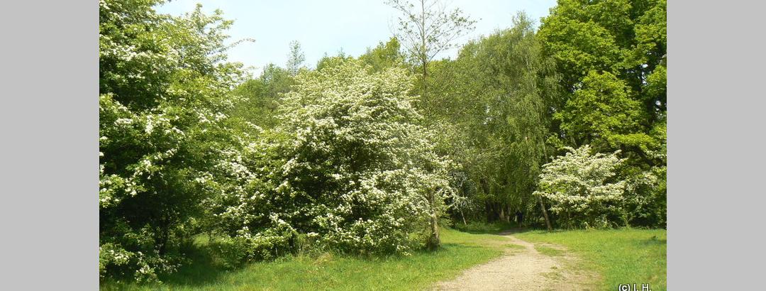 Höltigbaum zur Weißdornblüte