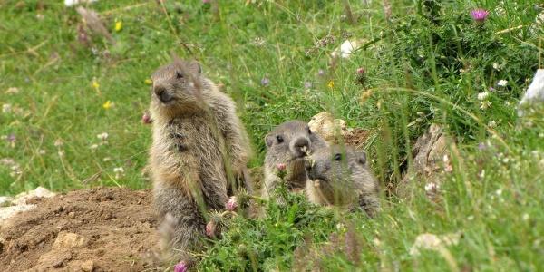 Marmotte lungo il percorso Malga Campo-Malga Campei