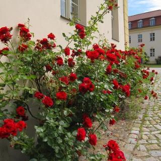 Rosen am Schloss Königswusterhausen