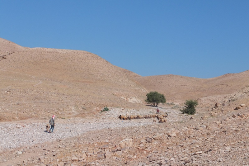 Ein Beduine mit seiner Schafherde in der Judäischen Wüste