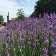 Lavendel mit Kirche