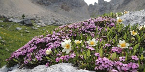Alpenblumen im Latemar