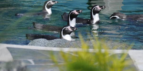 Pinguine im Spreeweltenbad in Lübbenau