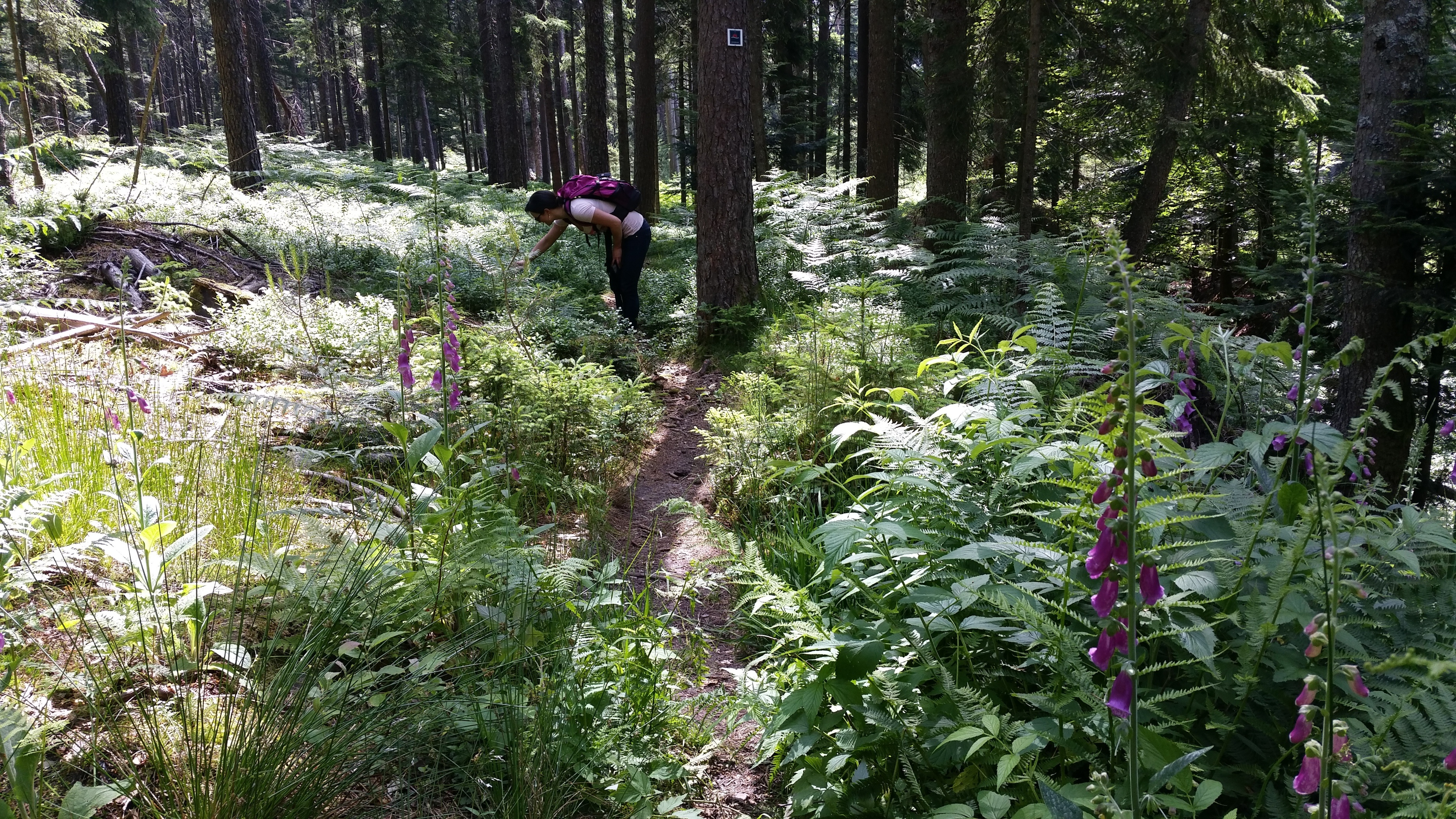 Fingerhut und Heidelbeeren im Baldenhofer Graben