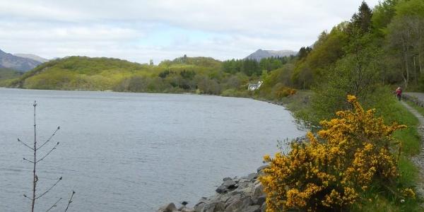 Stechginster am Loch Lomond