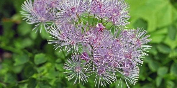 Kugelblume (Globularia)