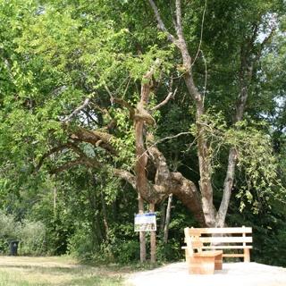 Naturdenkmal Maulbeerbaum, Foto: Gemeinde Ebenthal