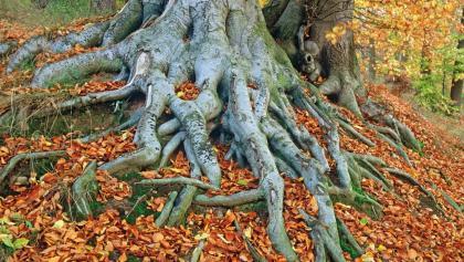Wurzeln der Buchenbäume