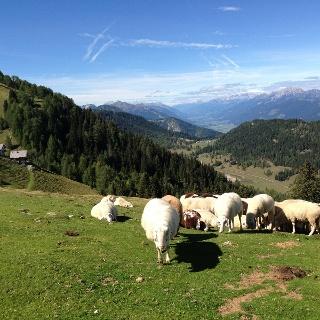 Schafe auf der Poludnigalm