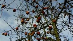 Herbstlicher Apfelbaum