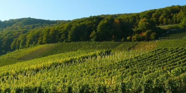 Weinanbau im Naheland
