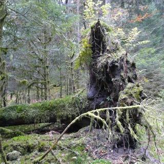 Viele umgeworfene Bäume finden Sie auf dieser Tour