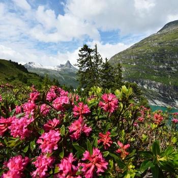 Alpenrosen in Zervreila