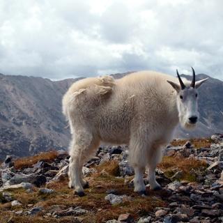 Bergziege ~3840m