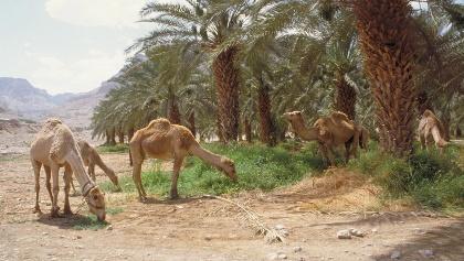 Kamele grasen im Dattelhain