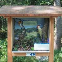 Mönchsgrasmücke und Grünspecht