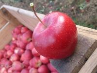 Ein Apfel zum Anbeißen