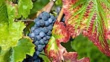 Hagnauer Obst- und Weinwanderweg & Immenstaader Apfel- und Weinspazierweg