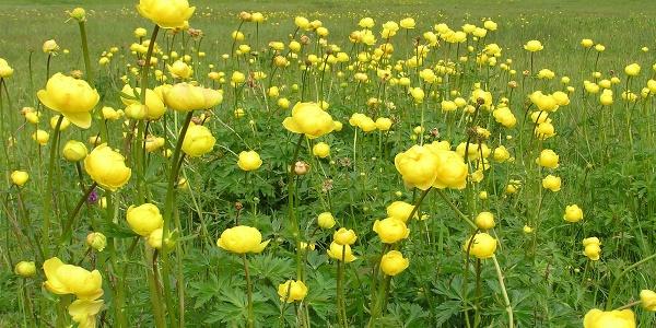 Wanderung - Durch das Weidmoos - Dotterblumen