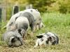 Glückliche Schweine  - @ Autor: Beate Philipp  - © Quelle: Honhardter Demeterhöfe