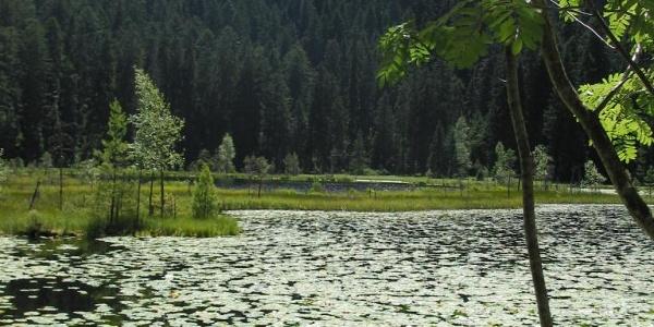 Teichrosen im Huzenbacher See