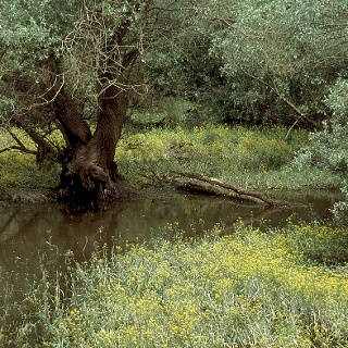 Silberweidenwald mit Wasserkresse