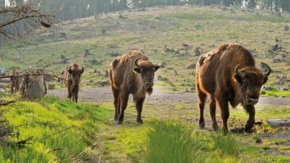 Wisent-Wildnis im Sauerland
