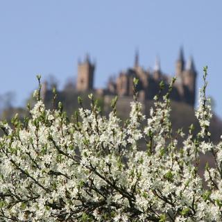 Blick auf die Burg Hohenzollern mit Zwetschgenblüte