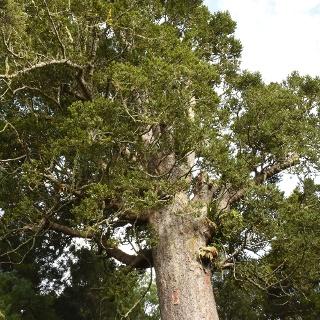 Mighty kauri tree