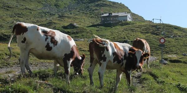 Kühe unterhalb der Hütte