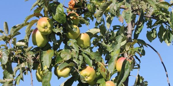 Apfelernte in Rheinhessen