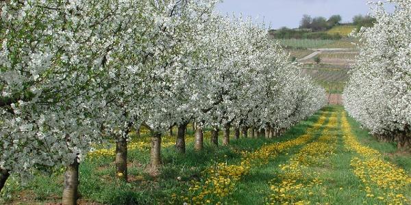 Obstblüte in Rheinhessen