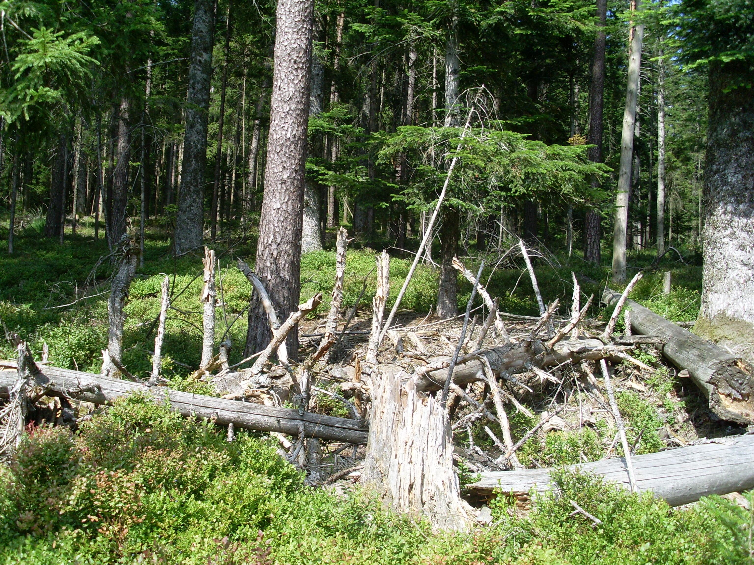 Totholz als Überbleibsel vom Orkan Lothar
