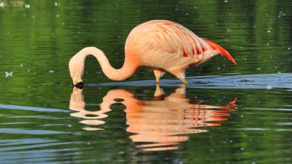 Flamingo im Zwillbrocker Venn.