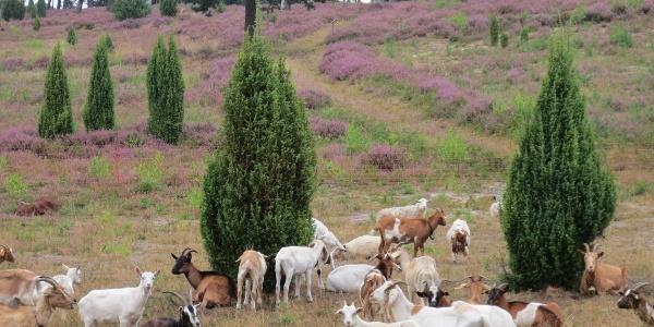 Schafe als Landespfleger im Wacholderhain Plaggenschale