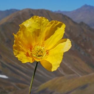Gelber Mohn am Kashka-Suu Pass