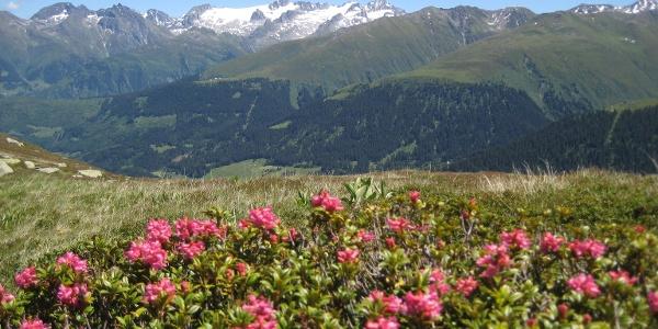 Alpenrosen mit Piz Medel von der Alp Caschle